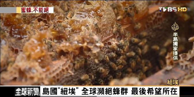 FOCUS/島國「紐埃」 全球瀕絕蜂群!最後希望所在